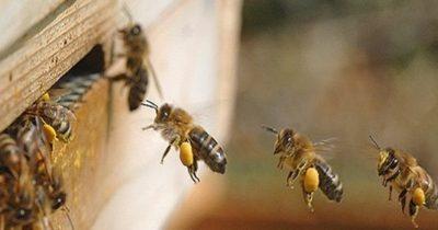 Arılar genç kızı hastanelik etti