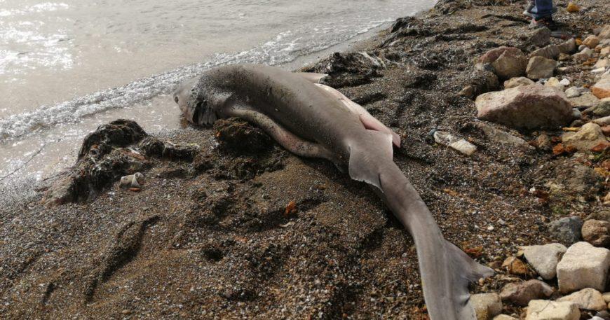 Köpek balığı sahile vurdu