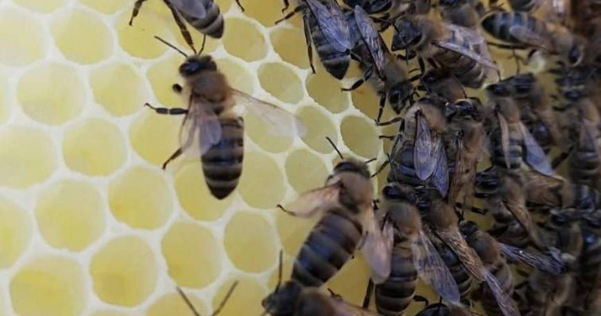 Gökçeada arısına bal ormanı tesisi