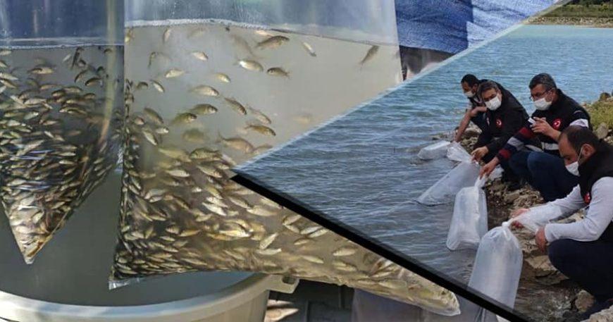 60 bin pullu sazan balığı yavrusu suyla buluştu