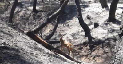 Yangından kurtulan geyik yabana döndü