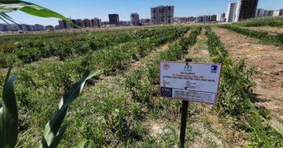 """Belediye'nin tarım ürünlerine """"iyi"""" sertifika"""