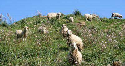 Boz Sığır ve Gökçeada Koyunu'na devlet desteği