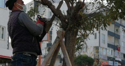Kepez'de ağaç budama çalışması