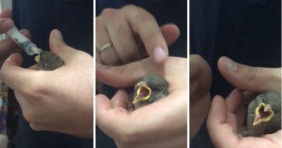 Yavru serçeyi elleriyle beslediler (videolu haber)