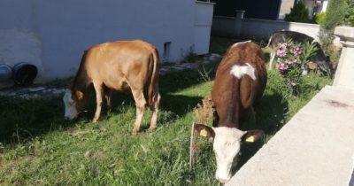 Başıboş gezen atlardan sonra şimdi de inekler çıktı! (videolu haber)