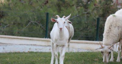 Assos'ta minimal köy hayatı: Sazlı…